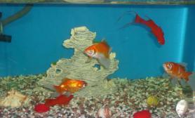 剑尾鱼的饲养要求(图)