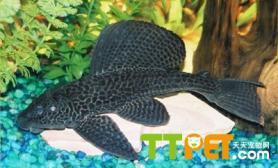 清道夫鱼的品种介绍