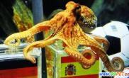 德国8只章鱼受神秘培训保罗帝二号或将诞生(图)