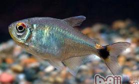 血翅鱼的品种简介