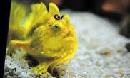 """神奇""""兔子鱼""""齐聚上海海洋水族馆闹春拜年(图)"""