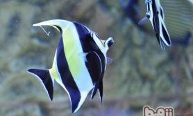 奶妈鱼在繁殖中的作用