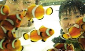 金边透红小丑鱼的饲养环境