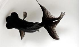 为什么金鱼容易被养死