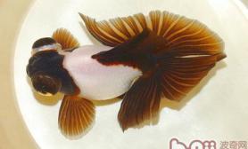 蝶尾金鱼的尾鳍挑选