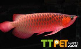 红龙鱼身体特点