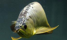 如何养好金龙鱼