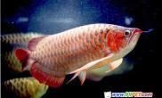 鱼中至尊-红龙鱼(图)