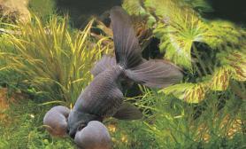 金鱼宠物鱼中最容易养也最不好养的品种(图)