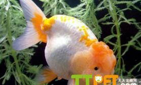 金鱼为什么在水面吐泡泡