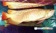 亚洲龙鱼的分类及品种介绍(图)