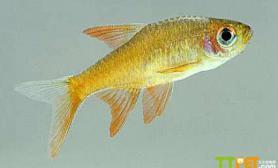 灯鱼可以混养吗灯鱼和什么鱼混养