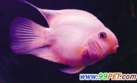 鹦鹉鱼变色不一定是病(多图)