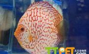 水的硬度对七彩神仙鱼生长有何影响
