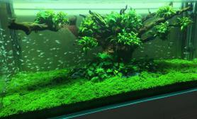 在我们这儿的水族店看到一个景水草缸感觉不错水草缸大家看看沉木杜鹃根青龙石水草泥
