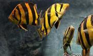 泰国虎鱼的品种特点及饲养