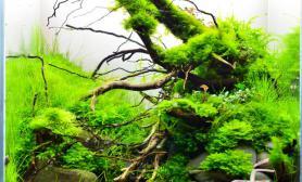 40方缸水草造景欣赏杜鹃根藤条装饰水族鱼缸
