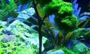 珊瑚莫丝树