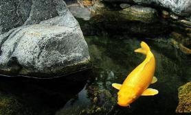 培养一条名鲤不容易百岁锦鲤值百万(图)