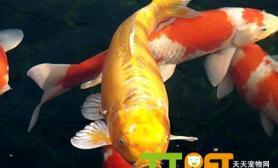 锦鲤鱼常见病有什么怎么预防治疗