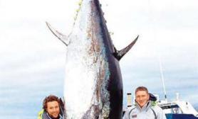 加拿大渔民捕获巨型蓝鳍金枪鱼重454公斤(图)