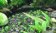 鹿角藻的基本介绍