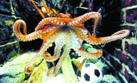 章鱼保罗人气不减出书拍广告一个不少(图)