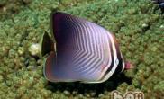 印度洋天皇蝶的外形特点