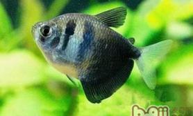 黑裙鱼的外形特点
