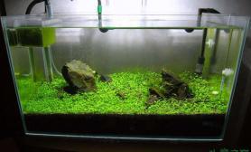 石景成草虾缸