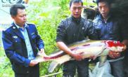 乌江捕获亚洲美人鱼重达16.5公斤的胭脂鱼(图)