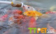 锦鲤的鱼虱病的症状和治疗方法