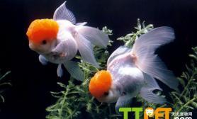 金鱼繁殖的自然繁殖法