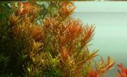 印度黄玫瑰、红太阳、小红梅、豹纹红蝴蝶秋韵状态一流超级红