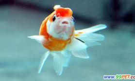 破肚金鱼仍顽强生存一个半月专家称其患上溃烂病(图)