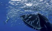 近距离拍巨鲸巨口吞食鱼群(多图)