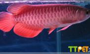灯光在红龙鱼发色中的应用