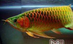 亚洲龙鱼的饲养环境