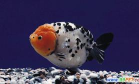 冬季购买金鱼注意事项(图)