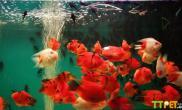 鹦鹉鱼有红斑怎么回事什么原因