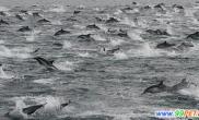 10万条海豚跃出水面(图)