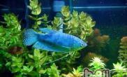 蓝曼龙鱼的饲养环境