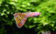 观赏鱼细菌性败血症的防治