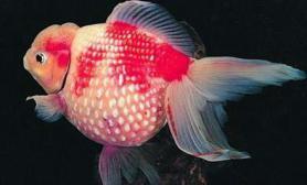 金鱼中暑的防治(图)