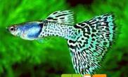 孔雀鱼针尾病预防及治疗方法