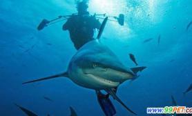 鲨鱼饱餐后露齿坏笑(图)