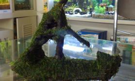 新买的MOSS沉木