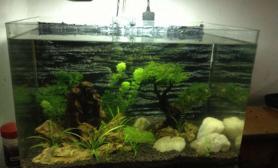水草造景我的45草缸水草缸没CO2沉木杜鹃根青龙石水草泥没过滤沉木杜鹃根青龙石水草泥