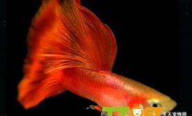 有关饲养孔雀鱼的过滤系统