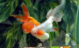 金鱼的十种常见病防治下尺寸设计